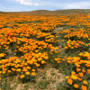 Poppy Reserve Opens Sat.; Red Rock Park Cleanup