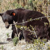 Bear Causes Damage to CC Home; Motorists Subsequently Report Sightings