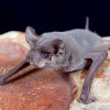 Another Rabid Bat Found in Santa Clarita