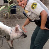 Hogs Run Wild Through Newhall; Deputies Come to Rescue