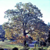 "Free Oak Trees in ""Oaktober"""