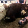 Gentle Barn Helps Cow Receive Prosthetic Foot