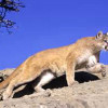 Supes to Look into Purchase of GPS Collars for Tehachapi Mountain Lion Project