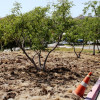 City Replaces More Landscaping with Low-Water Shrubs, Mulch