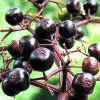 Elderberry Jelly | Commentary by Mari Carbajal