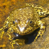 Feds Designate Critical Habitat for Scarce Frog, Toads