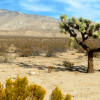 Joshua Trees Would Be Protected Under New Fed Rule