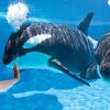 Governor Signs Orca Breeding Ban Into Law
