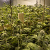 $6.2 Mil. Grow Operation Busted in Canyon Country