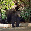 Bear Sighting in Newhall