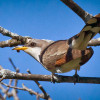 Western Yellow-Billed Cuckoos | Commentary by Linda Castro