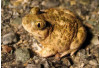 County, Developer Hatch Plan to Breed Toads