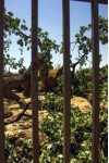Old Oak Tree Collapses in Valencia Shopping Center