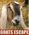 The Great Goat Escape: Animal Control Responds