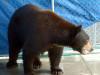 Fish & Game Warden Catches Bear in La Canada (Video)