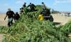 Lake L.A. Deputy Finds $$$ Pot Farm; Suspect Rearrested