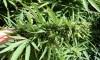 Antonovich Seeks Evaluation of Medical Marijuana's Impacts