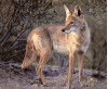 Local Ranger Offers Safety Tips after Increased Coyote Sightings