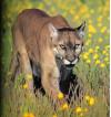 Saugus Residents Spot Mountain Lions