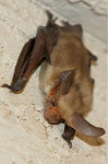Another Rabid Bat Turns Up in Newhall