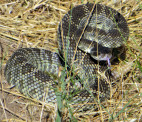 Deputies Respond to Rattlesnake-Related Gunshots in Acton