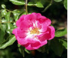 June 7: Learn Rose Care from One Who Knows