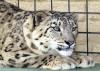 Snow Leopards Arrive at Rosamond Big-cat Compound