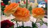 Nov. 7: Annual Rose Show at Hart Hall