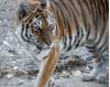 Shambala Preserve Welcomes Three New Tigers