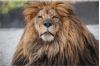 Cherished Shambala Lion Dies of Cancer