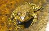 Feds Designate Critical Habitat for Scarce Frog, Toads