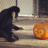 Oct. 28: Gibbon Conservation Center Celebrates First Halloween
