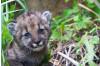 Mountain Lion Kitten Born in Santa Monica Mountains