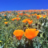 March 1: California Poppy Reserve Center Opens in Antelope Valley