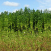 Wilk Industrial Hemp Bill Unanimously Passes Senate Committee