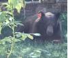 Pair of Bears Visit SCV in Search of Food