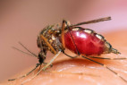 West Nile Virus Mosquito Sample Confirmed in LA County