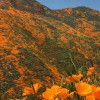 Poppy, Wildflower 'Super Bloom' Draws Crowds, Chaos in Lake Elsinore