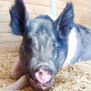 April 21: Gentle Barn Celebrates Year of the Pig with Piggy Party