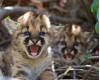 Conservation Groups Seek Protection for SoCal Mountain Lions