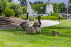 Guardians of Geese at Bridgeport Urge Caution