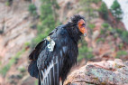 Feds Sued Over Logging Project OK'd in Condors Habitat