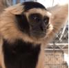 Future Uncertain for Gibbon Conservation Center