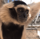 Future Remains Uncertain for Gibbon Conservation Center