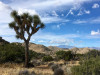 CSUN Prof to Collect DNA from Joshua Trees in Effort to Save Them