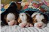 Puppy Mills: Buyer Beware | Marcia Mayeda