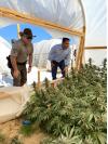 Multi-Agency Operation Seizes Thousands Of Pounds Of Illegal Marijuana In AV