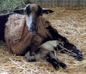 Sapphire, a pregnant sheep rescued from a backyard butcher, gave birth to a healthy baby boy at the Gentle Barn.