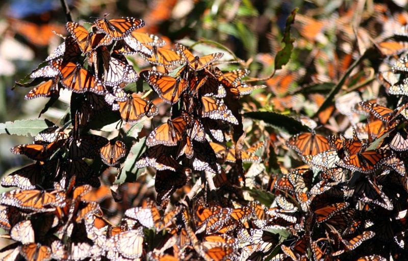 monarchs4