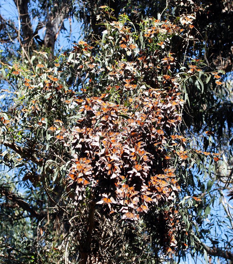 monarchs6